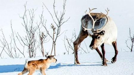 Putovanie so sobíkom (Ailo: Une odyssée en Laponia) 1