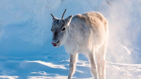Putovanie so sobíkom (Ailo: Une odyssée en Laponia) 2