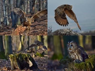 Foto: Fotenie dravcov v prírode - Výr skalny a Sova obyčajná