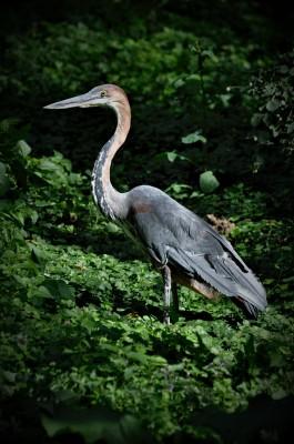 Foto: Národná zoo Bojnice chová najväčšiu volavku sveta!