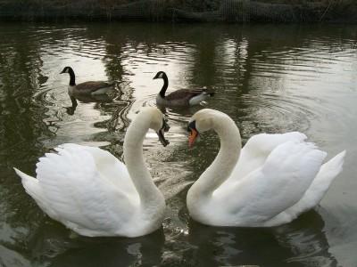 Foto: Bojnické zámocké jazero prišlo v krátkej dobe o všetky svoje labute hrbozobé