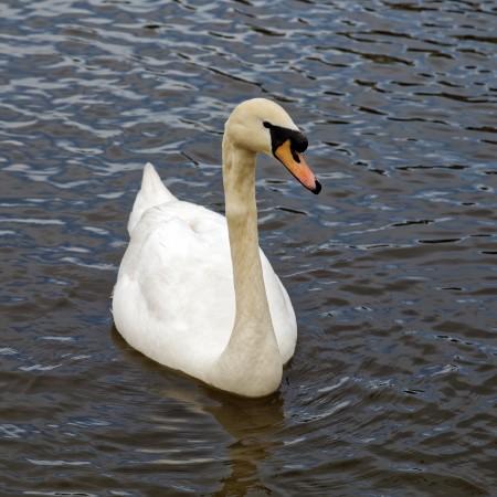 Foto: Bojnické zámocké jazero prišlo v krátkej dobe o všetky svoje labute hrbozobé 5