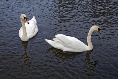 Foto: Bojnické zámocké jazero prišlo v krátkej dobe o všetky svoje labute hrbozobé 6