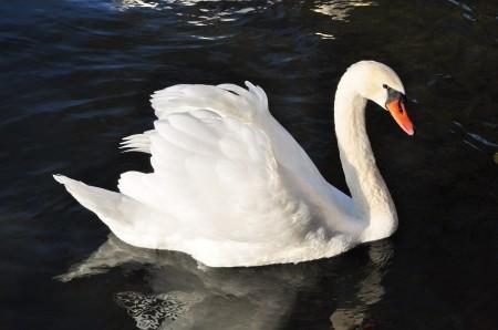 Foto: Bojnické zámocké jazero prišlo v krátkej dobe o všetky svoje labute hrbozobé 7