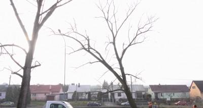 Video: Vysoké stromy na Nábreží sv. Cyrila v Prievidzi dali vypíliť. Výrub bol povolený