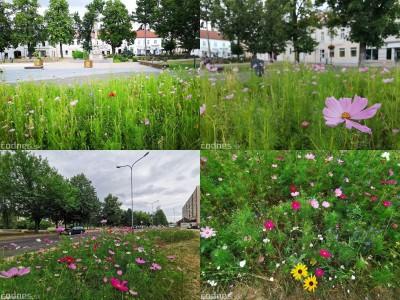 Foto: Mesto Prievidza pokračuje s výsevom lúčnych kvetov aj tento rok