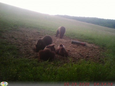 Pozor: V okolí Šutoviec pri Prievidzi sa pohybuje medvedica s troma mladými