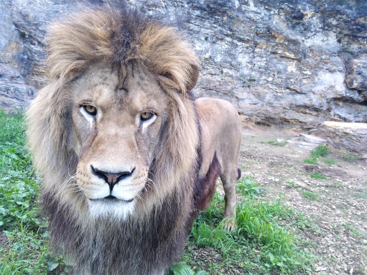 ZOO Bojnice opustil lev Ramzes. Išlo o prvého narodeného leva berberského v tejto zoo.