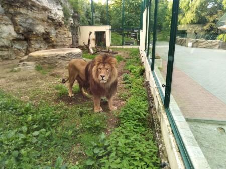 ZOO Bojnice opustil lev Ramzes. Išlo o prvého narodeného leva berberského v tejto zoo. 5