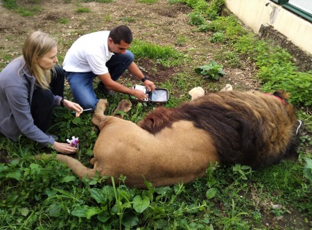 ZOO Bojnice opustil lev Ramzes. Išlo o prvého narodeného leva berberského v tejto zoo. 6