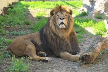 ZOO Bojnice opustil lev Ramzes. Išlo o prvého narodeného leva berberského v tejto zoo. 7