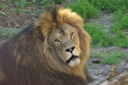 ZOO Bojnice opustil lev Ramzes. Išlo o prvého narodeného leva berberského v tejto zoo. 8