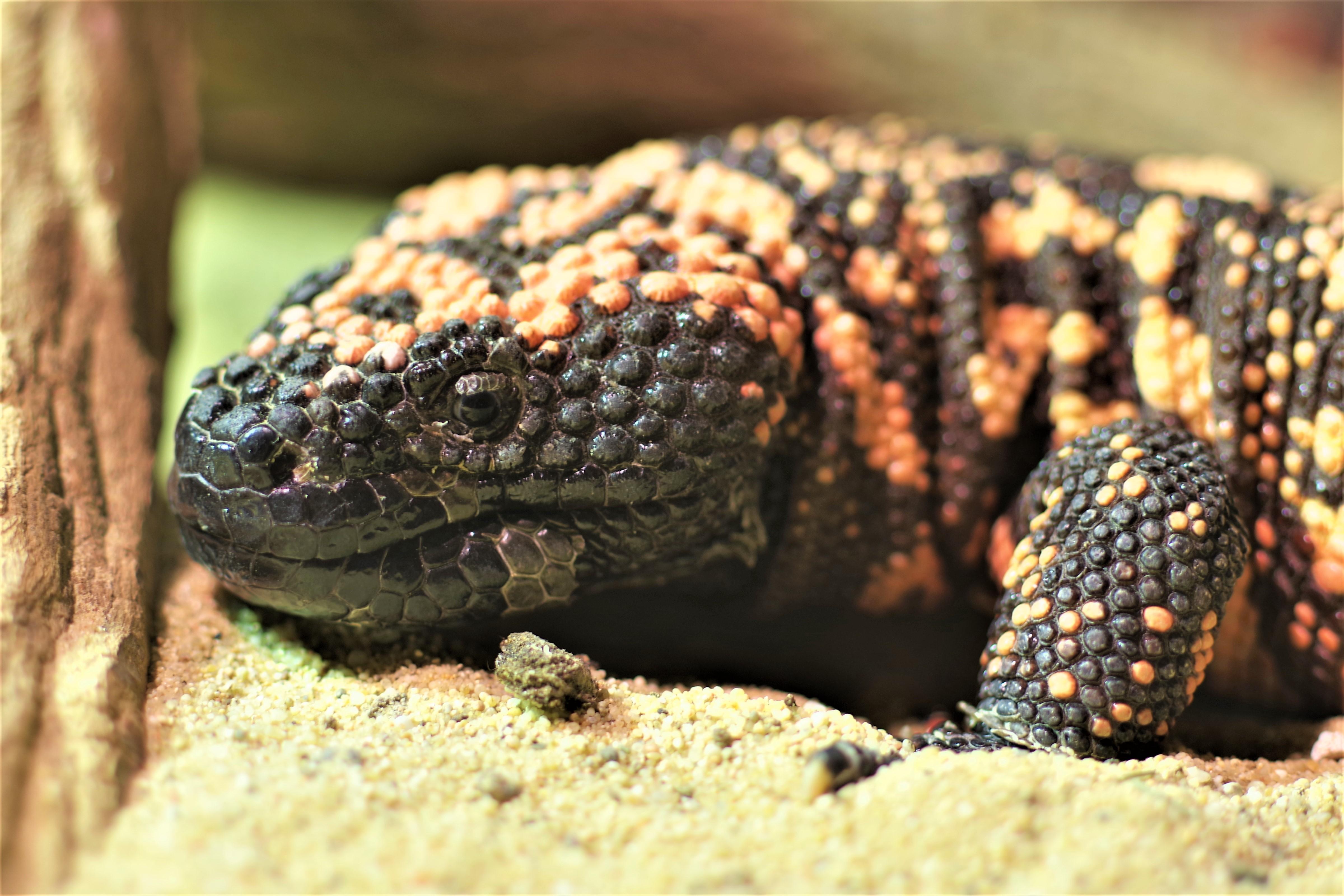 Foto: Národná zoo Bojnice chová jedného z dvoch jedovatých jašterov sveta