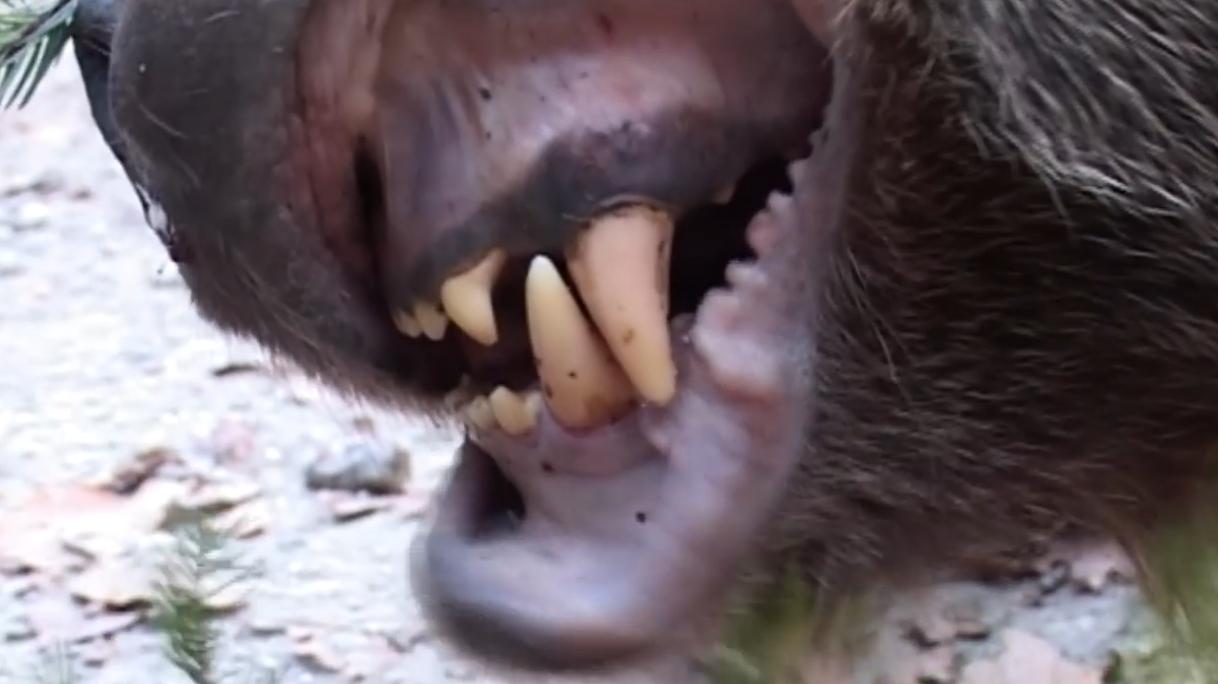 Video: Nad obcou Nevidzany v prievidzskom okrese zaútočila medvedica na poľovníka. Chránila svoje tri zamrnuté mláďatá.