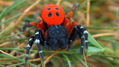 Video: Pri zrúcanine hradu Sivý kameň v Podhradí objavili jedovatého pavúka